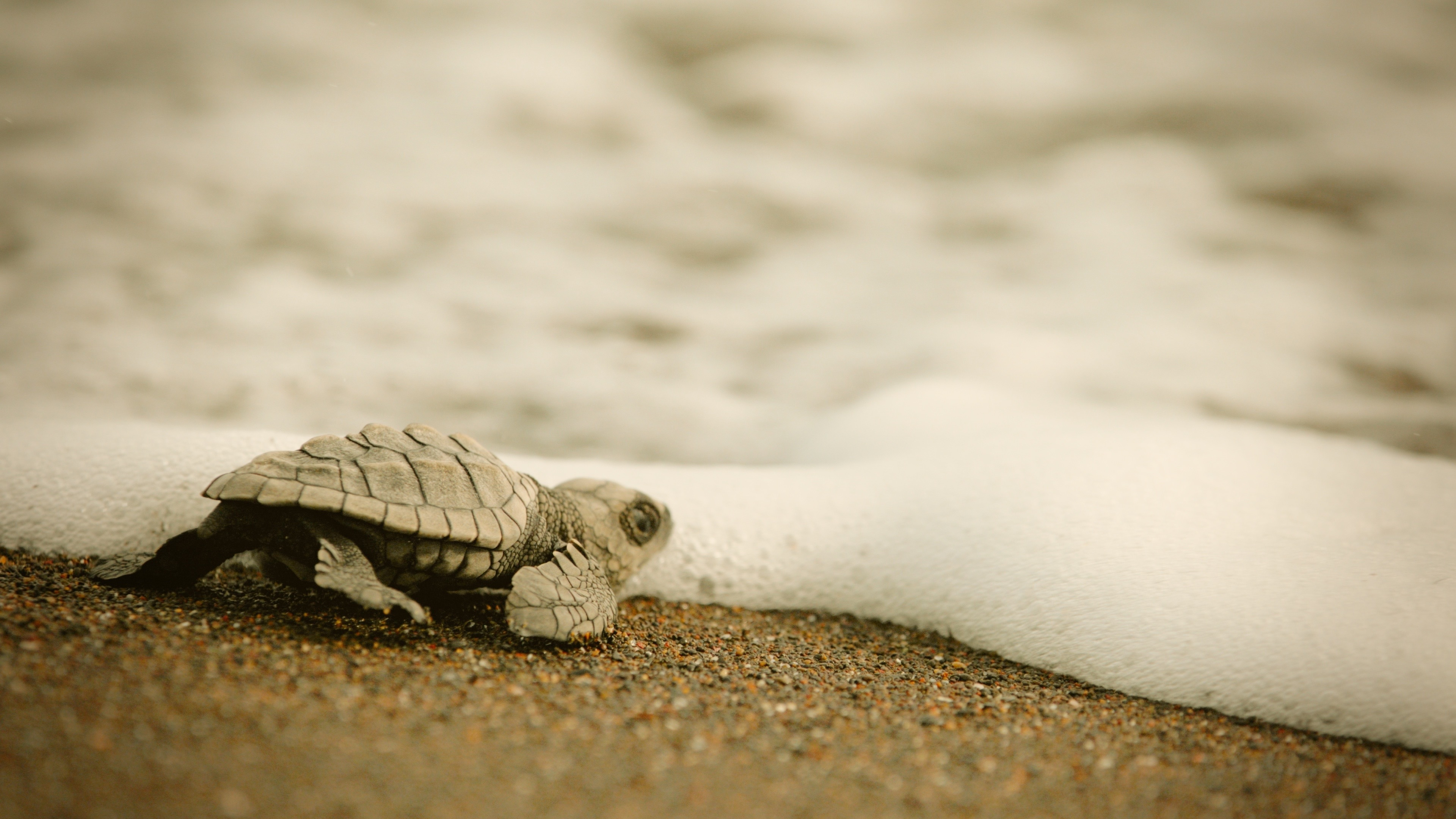 Baby Turtle in the Sea adverting Sky Nature